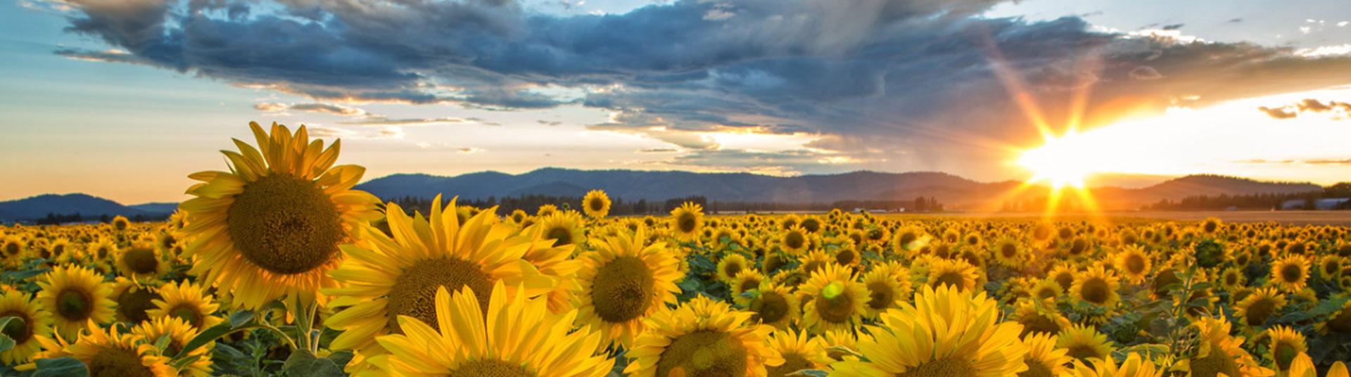 hero image- Sunflowers at sunset